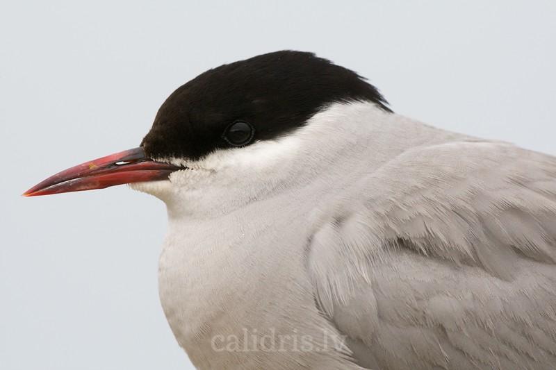 Closeup shoot of an Arctic Tern / Jūras zīriņš