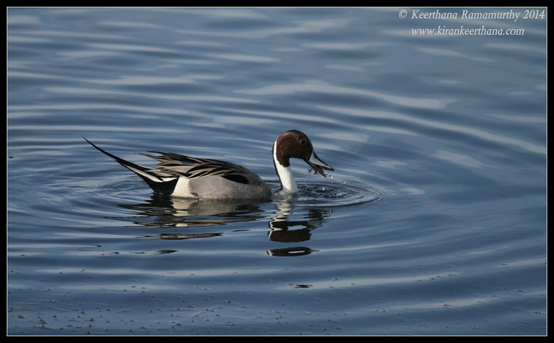 Northern Pintail Drake, Robb Field, San Diego River, San Diego County, California, February 2014