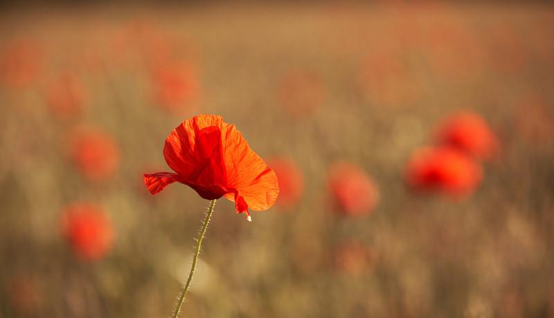 Poppy - 2366.jpg