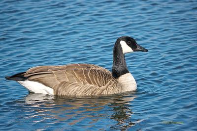 ANSERIFORMES (Ducks, Geese, Swans)