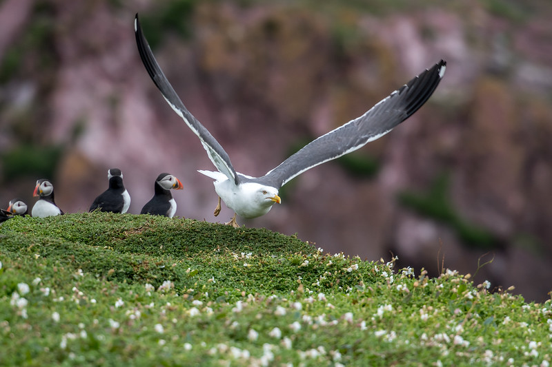 Ian Peters - Lesser Black backed Gull Larus fuscus the hunt goes on.jpg