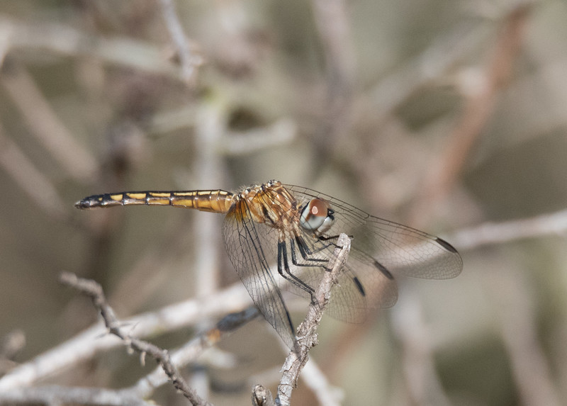 Immature Blue Dasher Dragonfly perching on the end of a bushes' branch