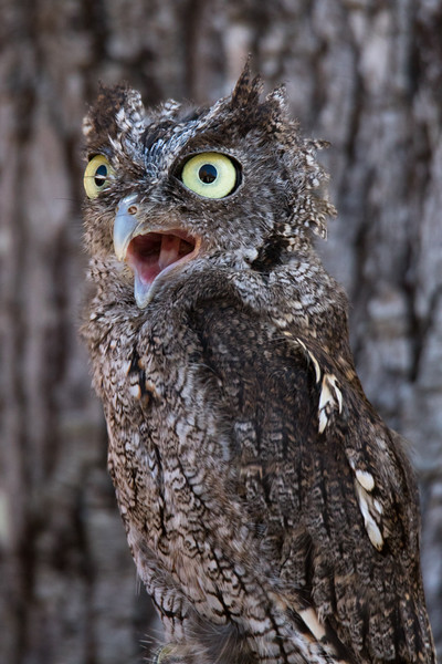 Eastern Screech Owl Vermont 2019-6.jpg