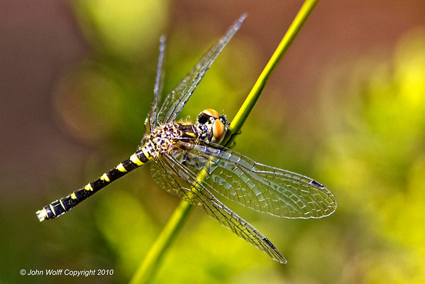 Long Island Dragonflies and Damselflies