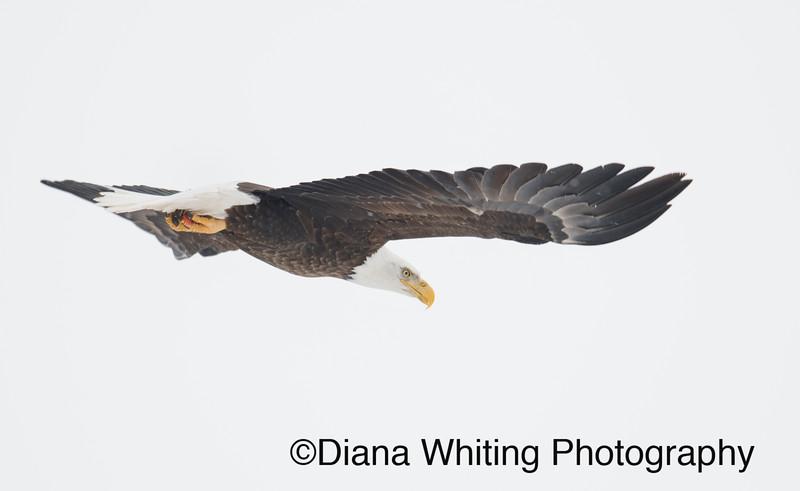Bald Eagle 18.jpg