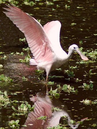 Corkscrew Swamp Sanctuary 09