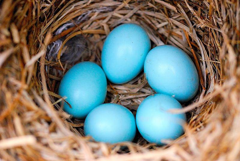 BlueBird Eggs.jpg
