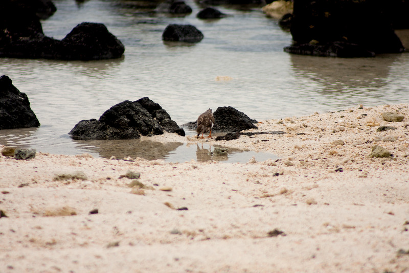 Bird Looking for Food 2: Journey into Genovesa Island in the Galapagos Archipelago