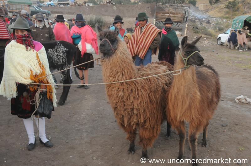 Wooly Llamas For Sale - Zumbahua, Ecuador