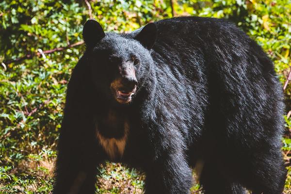 Fall Black Bear