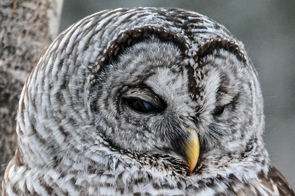 Barred Owl 2019