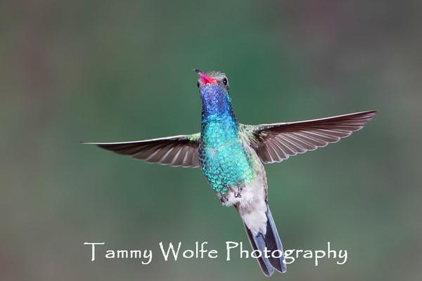 Hummingbird, Broad-Billed