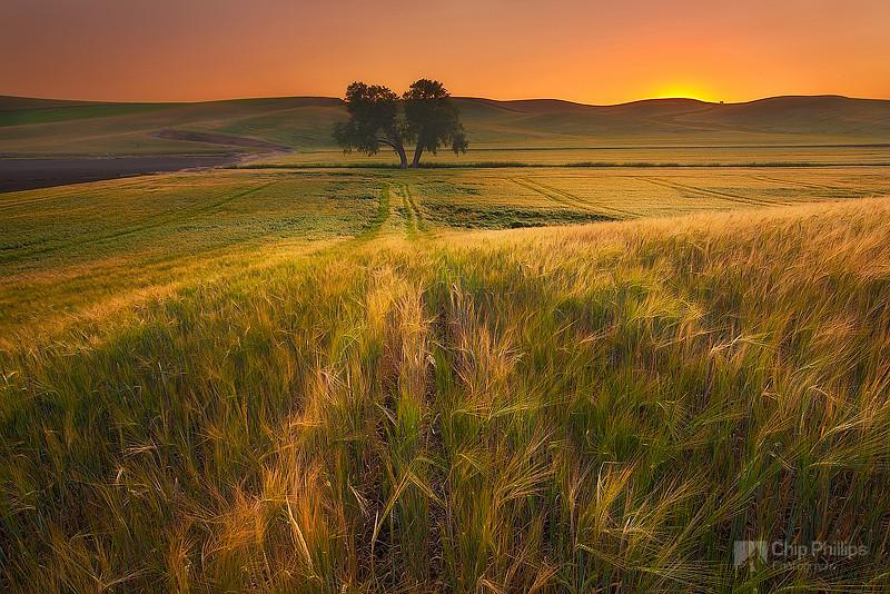 Palouse Wheat and Lone Tree at Sunset.jpg