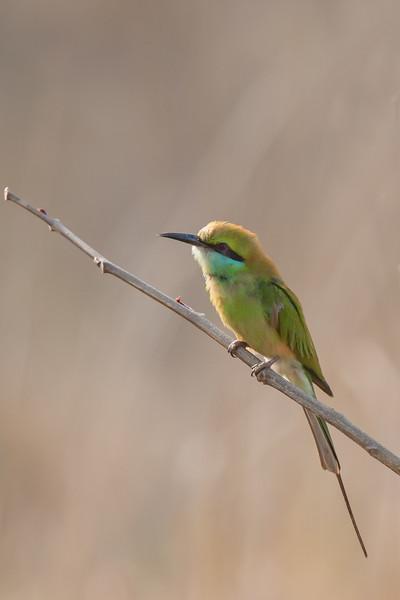 Green Bee-eater - Kanha National Park - Madhya Pradesh, India