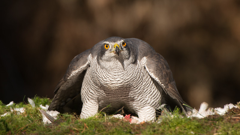 Northern Goshawk, Accipiter gentilus. Oss, The Netherlands.