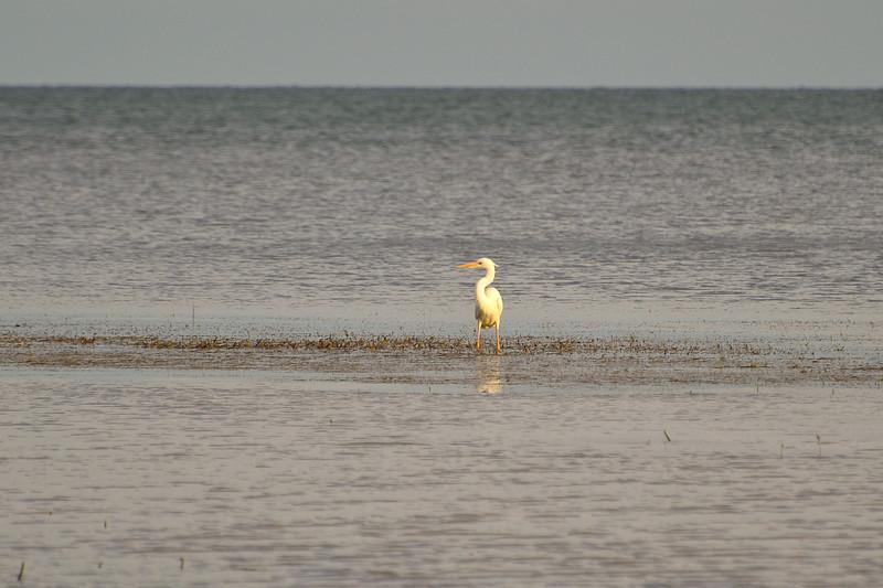 Great White Heron.