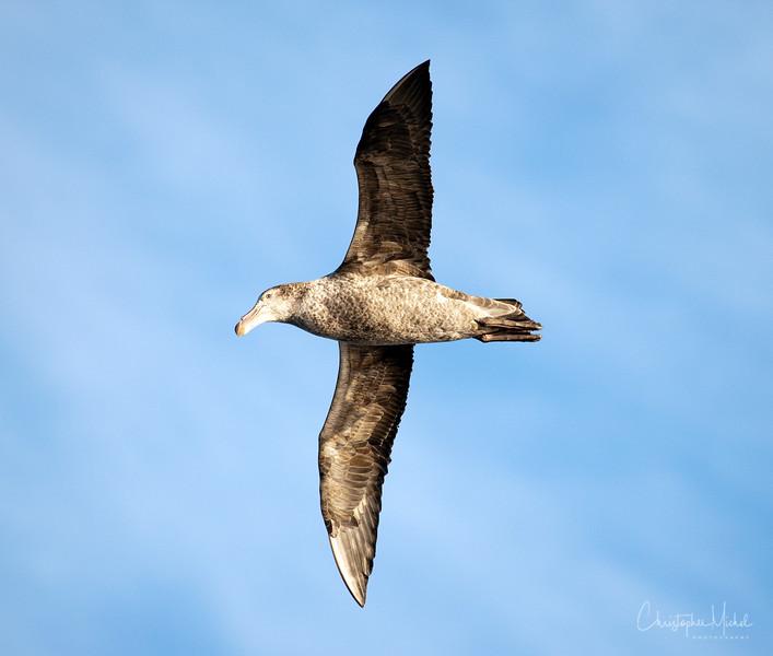 giantpetrel_soaring.jpg