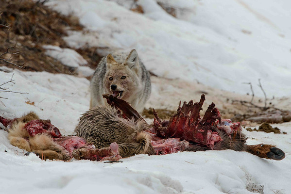 Coyote on Kill