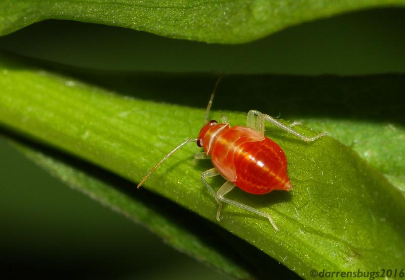 Plant bug nymph (Miridae) from Iowa.