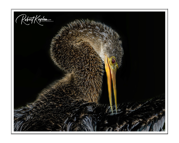 Anhinga-9012-Topaz Clarity_Watermarked_Framed.jpg