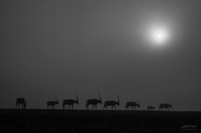 Arabian Oryx (29).jpg