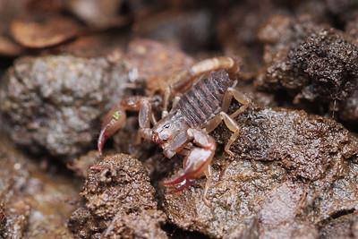 Scorpions (Scorpiones)