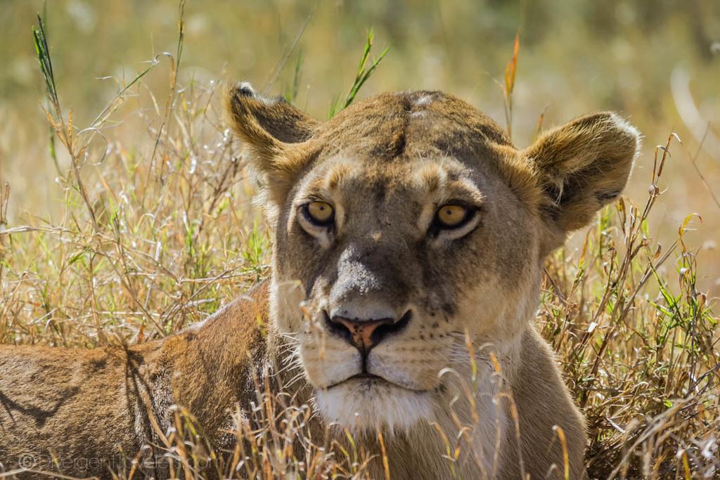 Lioness in Tanzania on Serengeti Safari