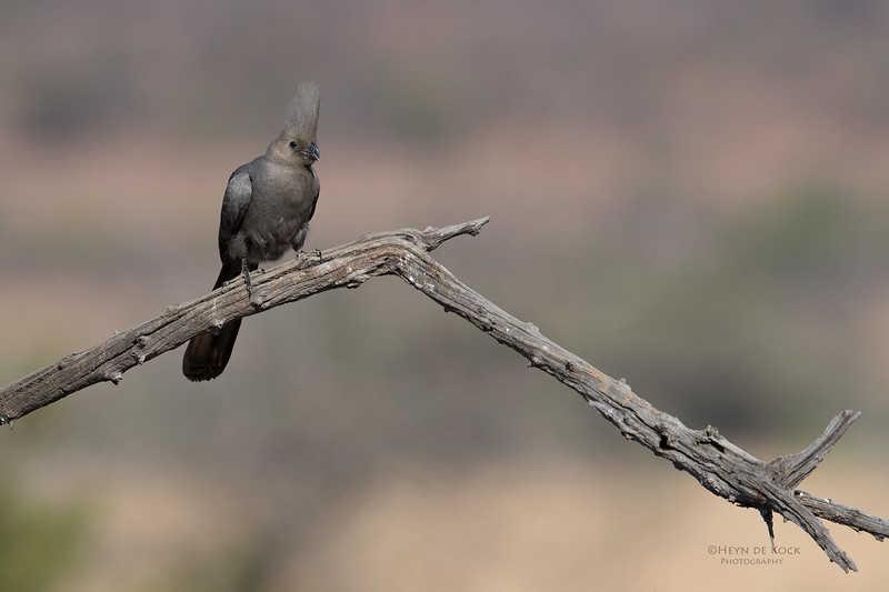 Grey Go-away-bird, Pilansberg NP, Sept 2016-1.jpg