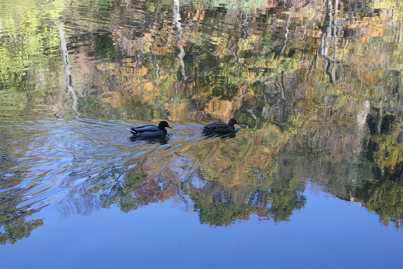 Ducks in Reflecting Lake Pennsylvania, USA