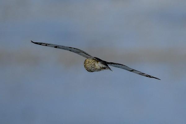 2-22-18 **Short-Eared Owls