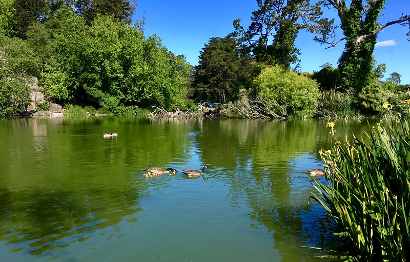 Gooselings in Golden Gate Park
