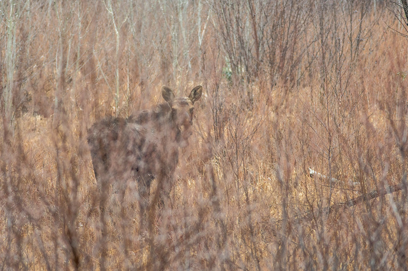 Moose ghost Moose CR15 Stoney River Forest Road Superior National Forest Lake County MN DSC04361.jpg