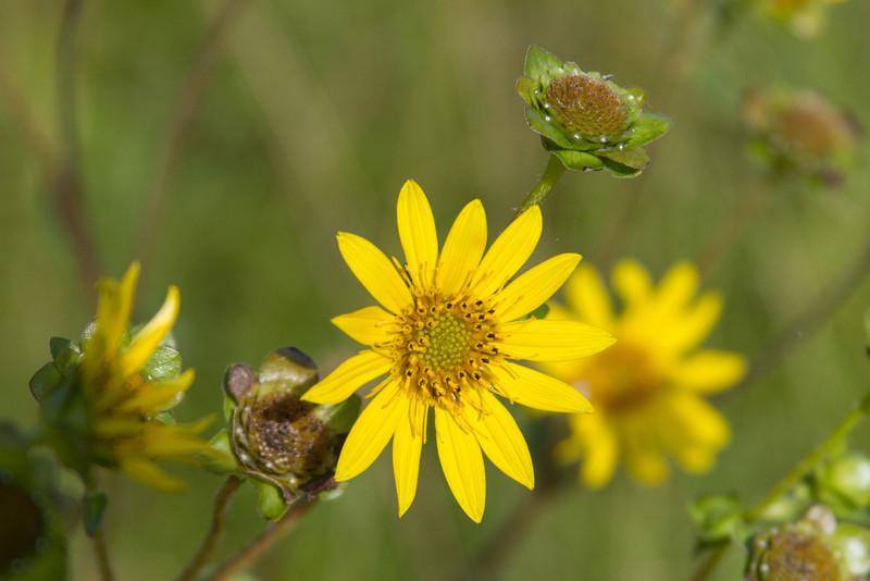 Helianthus angustifolius - Swamp Sunflower