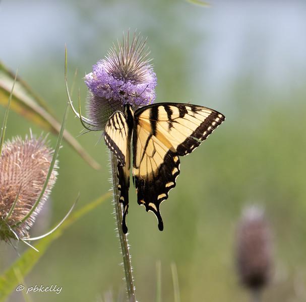 Tiger Swallowtail 080319-1.jpg