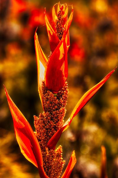 Elegia capensis, U. C. Santa Cruz Arboretum, California, 2010