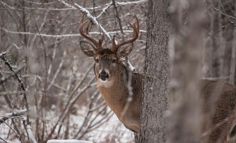 Whitetail Buck, Waskesiu SK