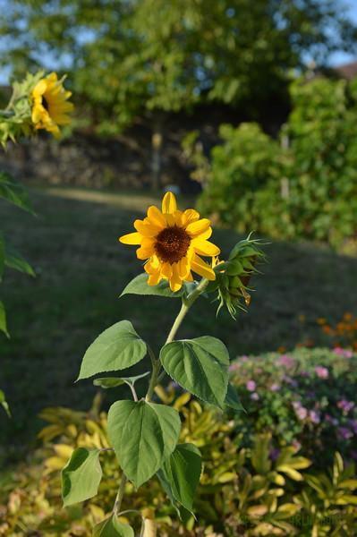 Sunflower Lonay_20092020 (14).JPG