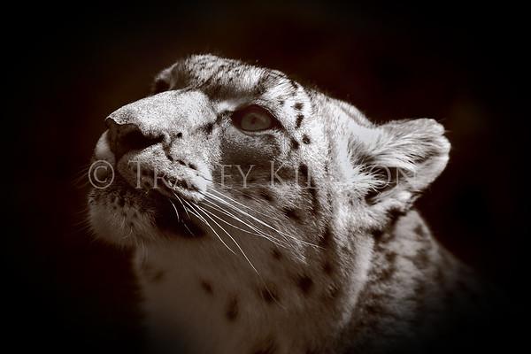 Snow Leopard Conservation Prints