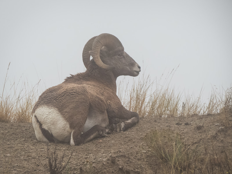 2018022423272728-Big Horn Ram in the Fog.jpg