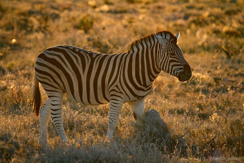 Backlit zebra just before sunset - Etosha National Park, Namibia.