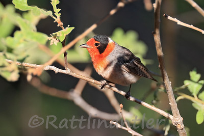 Red-Faced Warblers