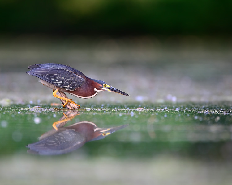 Green Heron Hunting 2.jpg