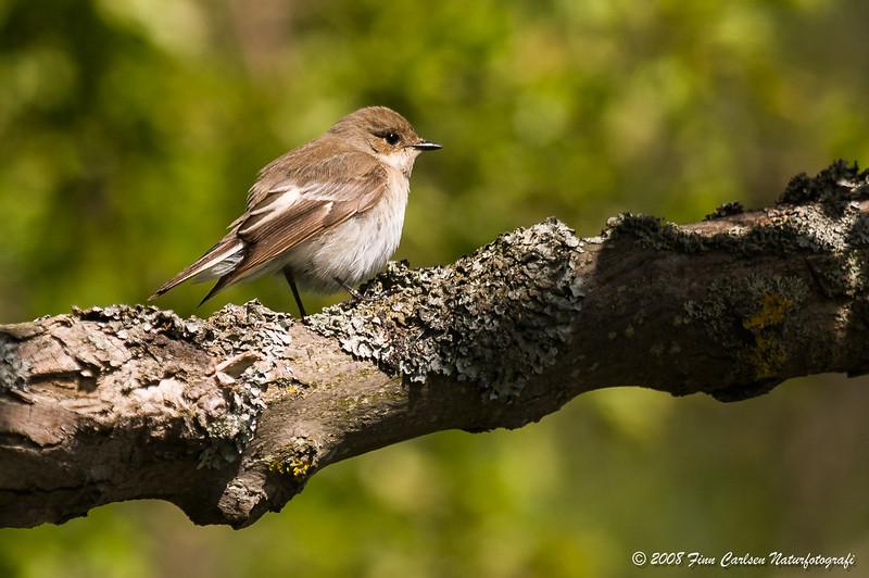 Broget fluesnapper - Ficedula hypoleuca - European pied flycatcher