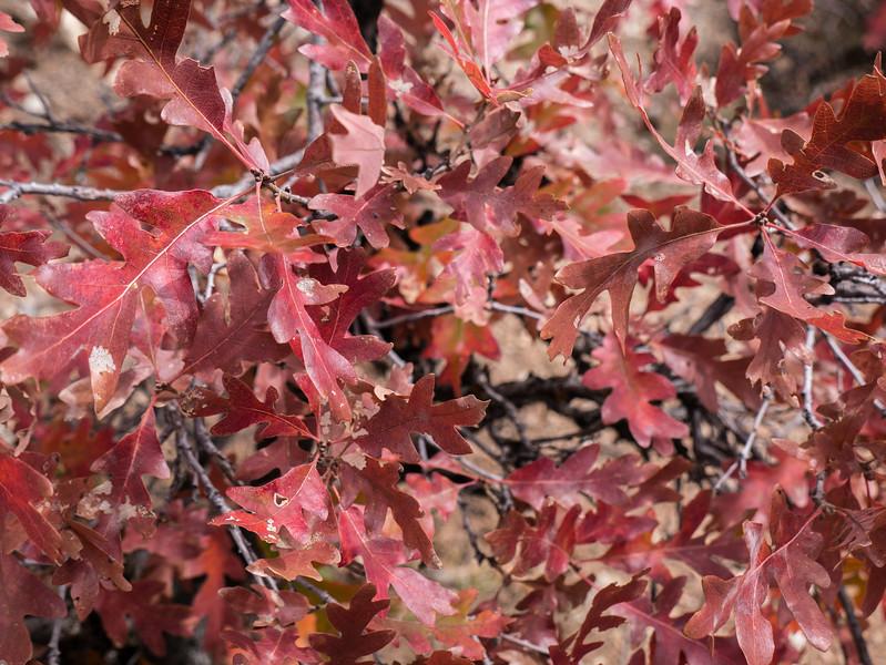 Gambel Oak Tree Leaf