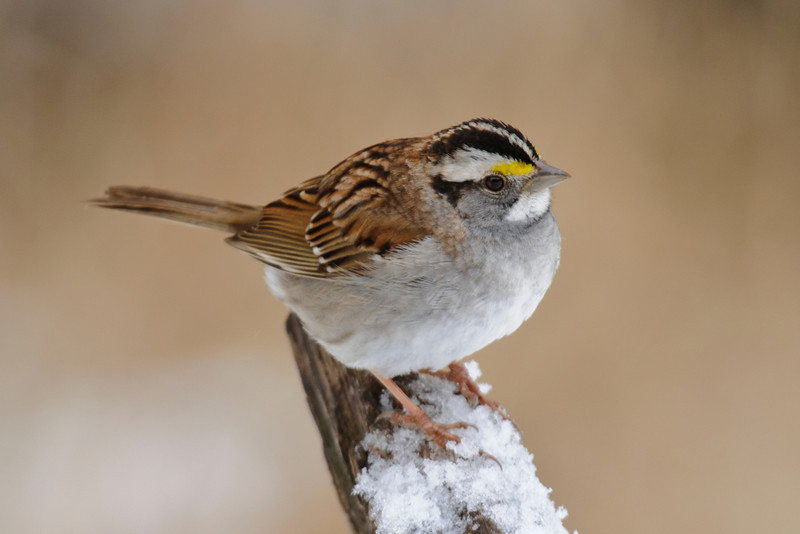 Sparrow - White-throated - Dunning Lake, MN - 05