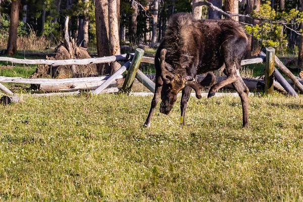 Moose at Dusk in the Meadows of the High Uintas, Utah