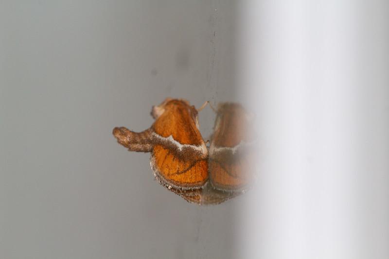 Lithacodes fasciola Yellow-shouldered Slug Moth 4665 Family Limacodidae Skogstjarna Carlton County MN  IMG_0055.jpg