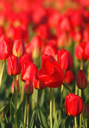 Tulips 4-17-11