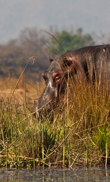 NEW 7 9 ZAMBEZI HIPPO ++ ADDZIMBABWENEW 7 9 ZAMBEZI HIPPO ++ ADD.jpg