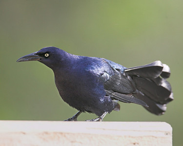 Blackbirds, Cowbirds, Meadowlarks, Orioles, Larks